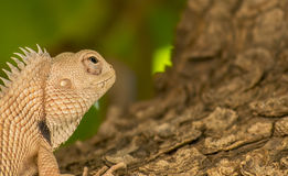 Bearded dragon lizard (Pogona) Stock Photography