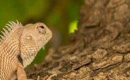 Bearded dragon lizard (Pogona) Stock Photography
