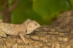 Bearded dragon lizard (Pogona) Royalty Free Stock Image