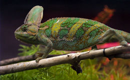 Chameleon on a tree Stock Photos