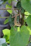 Chameleon on tree stock photography
