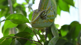 Chameleon on a tree branch. Chameleon eyes rotate in opposite directions stock footage