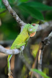 Chameleon at tree branch Royalty Free Stock Image