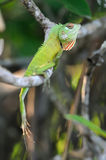 Chameleon at tree branch Stock Photo