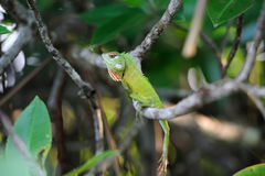 Chameleon at tree branch Stock Photography