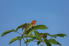Chameleon on a tree branch royalty free stock photo