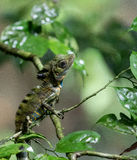 Chameleon in tree branches in the rainforest in Mulu, Sarawak, Borneo Stock Image