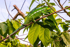Chameleon on tree branches Royalty Free Stock Image