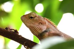 Chameleon on a tree royalty free stock image