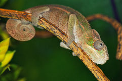 Chameleon on a tree Royalty Free Stock Images