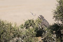 Chameleon in  tree in Dorob National Park. Namibia. Desert adapted. Eating with tongue sticking out. extended image. Scale royalty free stock photography