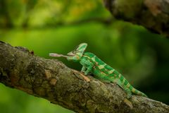 Chameleon on tree hunting home cricket Stock Image