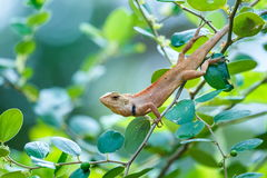 Chameleon on the tree,Lacertilia. Stock Photography