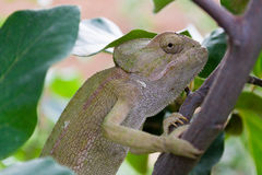 Chameleon on a tree #1 Stock Photography