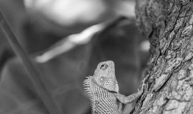 Bearded dragon lizard (Pogona) Royalty Free Stock Images