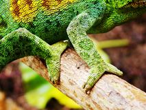 Chameleon in a tree Royalty Free Stock Image