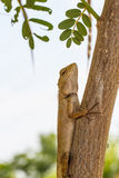 Chameleon on the tree Royalty Free Stock Photography