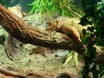 Chameleon on tree trunk Royalty Free Stock Image