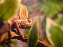 Chameleon among trees Royalty Free Stock Image