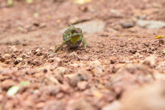 Chameleon tries to pass unnoticed across the road Stock Photos