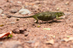 Chameleon tries to pass unnoticed across the road Royalty Free Stock Photos