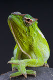 Chameleon / Trioceros wiedersheimi Royalty Free Stock Photo