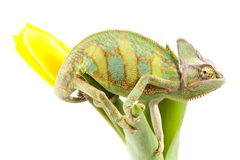 Chameleon on a tulip Stock Photos