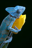 Chameleon on a tulip stock photography