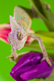 Chameleon on tulip Royalty Free Stock Photos
