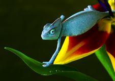 Chameleon on tulip. Chameleons belong to one of the best known lizard families. They are famous for their ability to change their color, and also because of