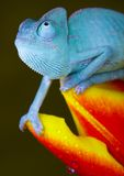 Chameleon on tulip stock image