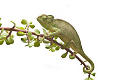 Chameleon on a twig Stock Photos