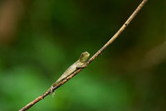 Chameleon on twig. Side view of camouflaged chameleon on branch or twig with green nature background Royalty Free Stock Photos