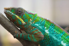 Chameleon on a twig Royalty Free Stock Image