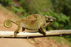 Chameleon. Usambara Montains Tanzania Africa stock photography