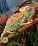 Chameleon vendado Fotografia de Stock