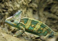 Chameleon vendado de yemen, United Arab Emirates fotos de stock