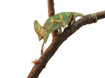 Chameleon verde che caccia un grillo Immagini Stock