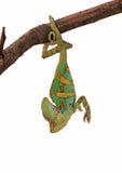 Chameleon verde upside-down Immagini Stock Libere da Diritti