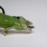 Chameleon with victim in mouth Stock Photo