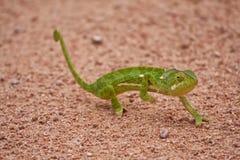 Chameleon walking on sand Royalty Free Stock Photos