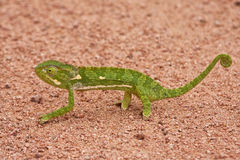 Chameleon walking on sand Royalty Free Stock Image