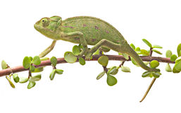 Chameleon walking on a twig Royalty Free Stock Images