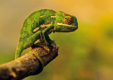 Chameleon. This chameleon was seen in St Lucia in Northern Natal, South Africa Stock Photo