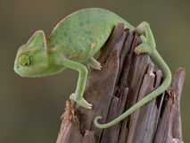 Chameleon watching cricket. A baby veiled chameleon is keeping his eye on a cricket Stock Image