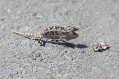 Chameleon and wedding rings Stock Photos