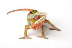 Chameleon. On a white background Royalty Free Stock Photography