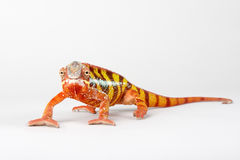 Chameleon. On a white background Stock Photo