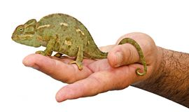 Chameleon on white background Stock Image