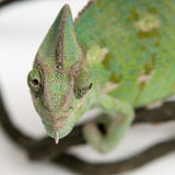 Chameleon on white background closeup Royalty Free Stock Photo